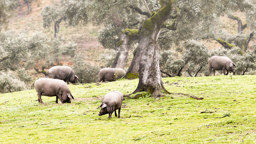 Iberian Pig
